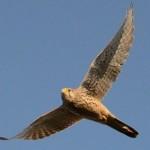 Der Turmfalke: Vogel des Jahres 2007