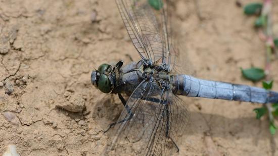 Großer Blaupfeil - Libellen aus der Familie der Segellibellen