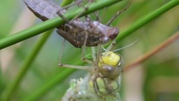 Frisch geschlüpfte Libelle mit Libellenpuppe.