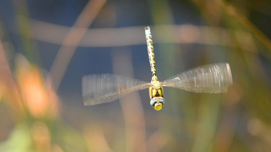 Libelle am Biotop