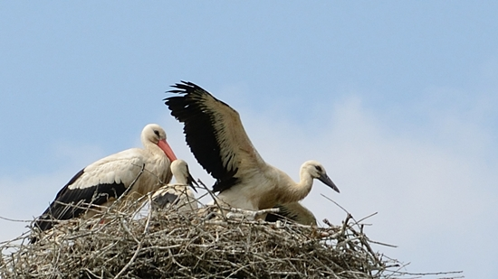 Storchenjungen im Nest