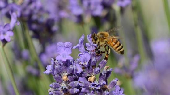 Wildbienen und Honigbienen lieben Lavendel!
