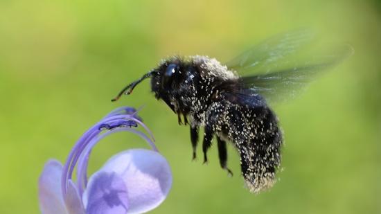 Blauschwarze Holzbiene - Xylocopa violacea