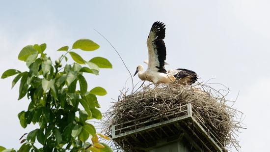 Bevor aus einem Nesthocker ein Streitvogel wird, muss der Jungstorch seine Schwingen kräftigen, um erst einmal aus dem Nest fliegen zu können.
