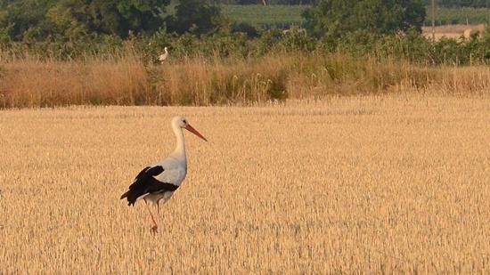 Abgemähte Getreidefelder sind bei Störchen beliebt. Hier finden sie jetzt ausreichend Nahrung.