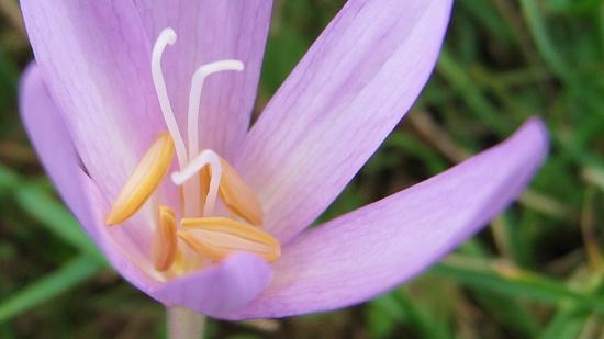 Die Blüte der Herbstzeitlose erinnert an Krokusse.