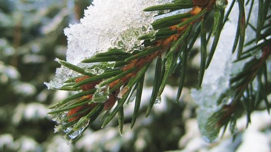 ökologischer Weihnachtsbaum aus der Region